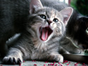 Animals Cat Meowing