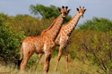 Animals Giraffes