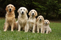 Animals Golden Dog Family