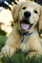 Animals Golden Puppy