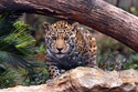 Animals Leopard