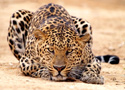 Animals Leopard Pounce