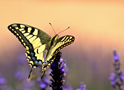 Animals Machaon Butterfly