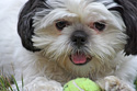 Animals Shih Tzu