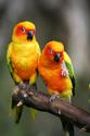 Animals Sun Conures