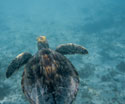 Animals Swimming Turtle