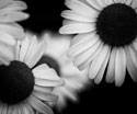 Floral Black and White Sunflowers