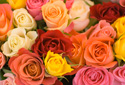 Floral Nature Roses