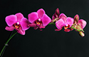 Floral Orchid Flower