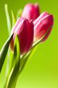 Floral Tulip Flower