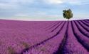 Landscape Lavender