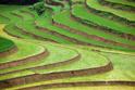 landscape rice