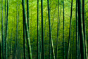 Nature Bamboo Forest