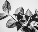 Nature Black and White Leaves