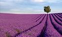 Serene Landscapes Lavender Field