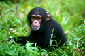 Wildlife Chimp