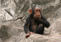 Wildlife Chimp Think