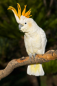 Wildlife Cockatoo