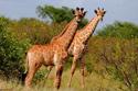 wildlife giraffes