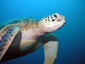 wildlife sea turtle
