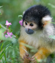 Wildlife Squirrel Monkey