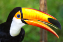 Wildlife Toucan